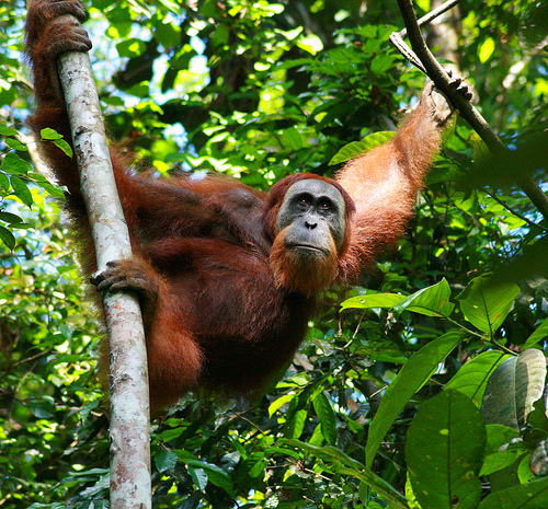 Orangutan: image not available